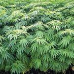【京都】中3男子生徒が大麻所持で逮捕 小6で大麻使用の男児と同一人物か