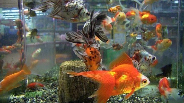【炎上】路上にぶちまけられた金魚の画像拡散「金魚すくいなのに金魚救えてない」