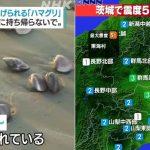 【衝撃】千葉のハマグリ大量打ち上げ、茨城震度5弱地震を予言してた!?