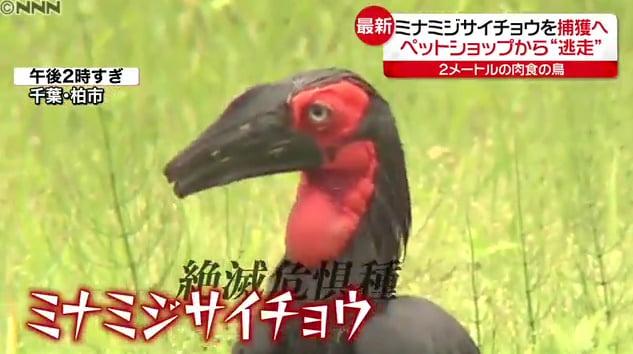 【検証】ミナミジサイチョウが脱走した茨城のペットショップは牛久市の猛禽屋との情報